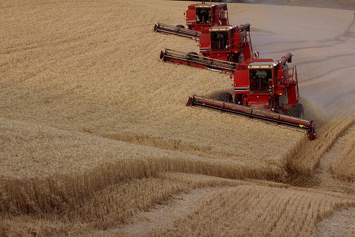 Three combines triple the speed of the harvest as they mow a large wheat field.