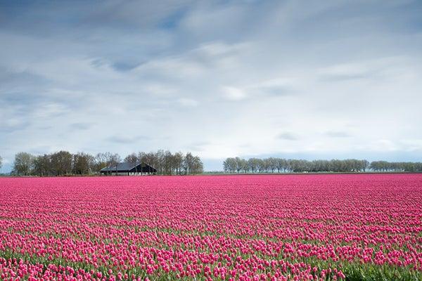 Tulip field / link roundup